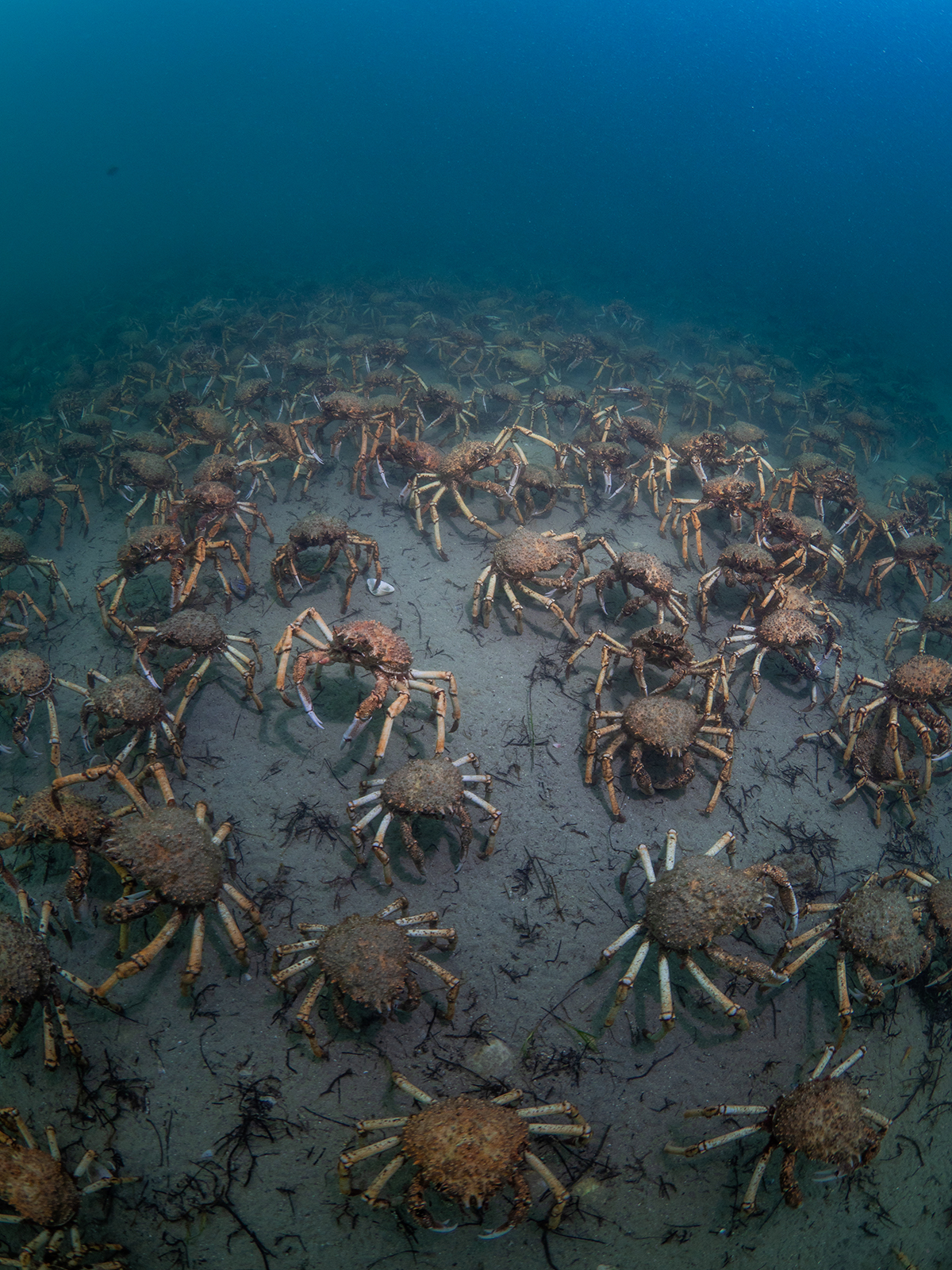 Cold Water Photography - spider crab migration
