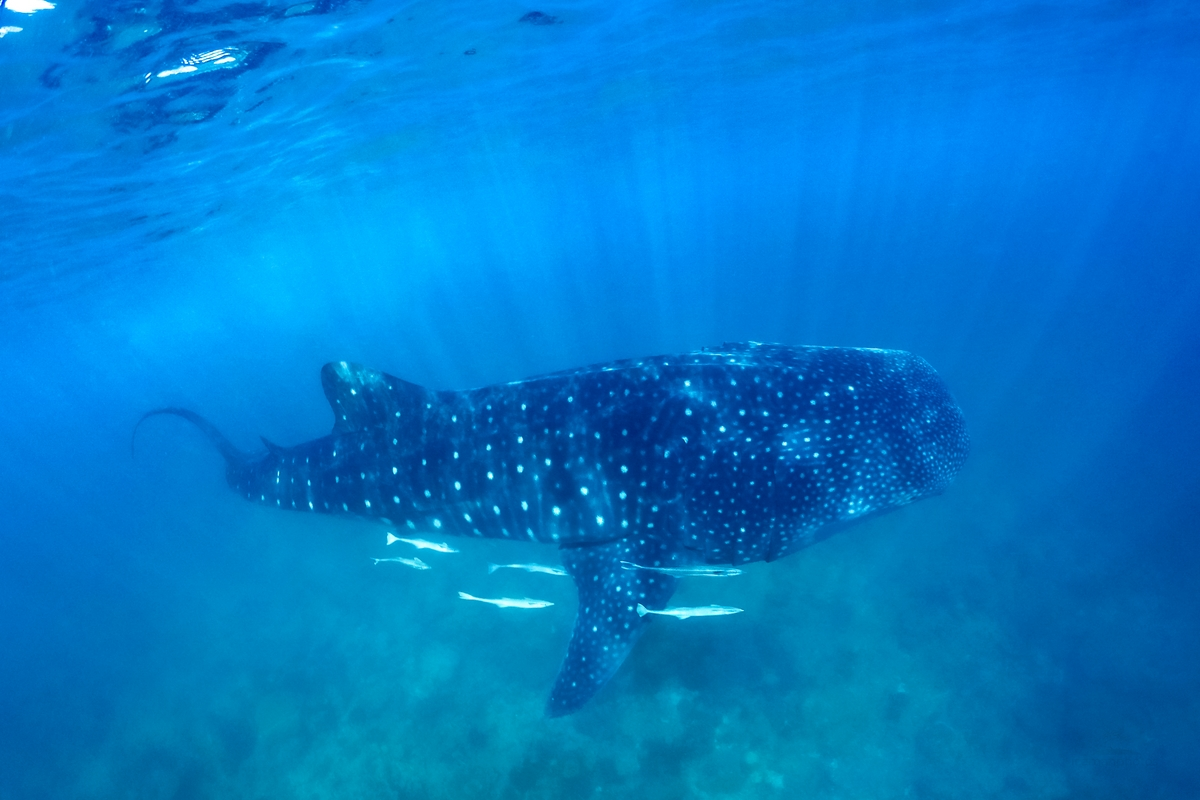 .Whale Sharks in the Maldives