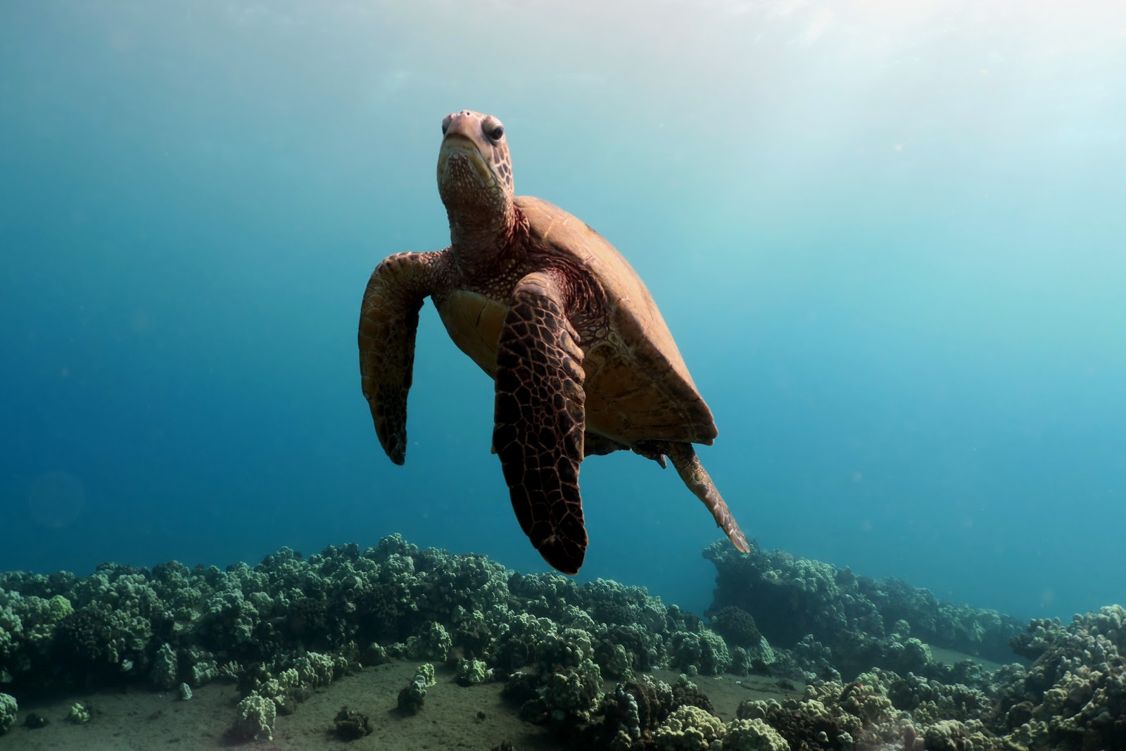 Diving on a Budget in Hawaii - Turtle