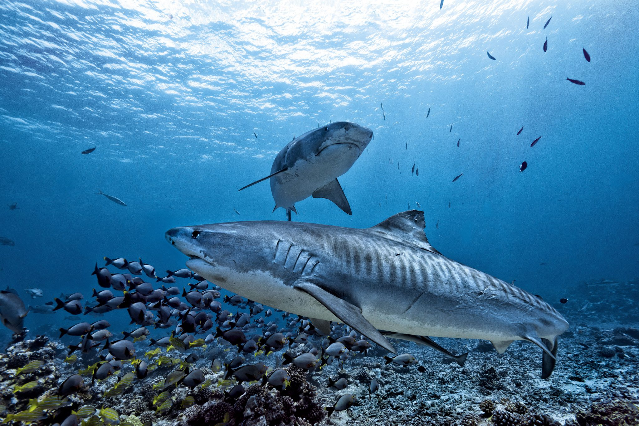 Tiger Sharks Hawaii Shutterstock