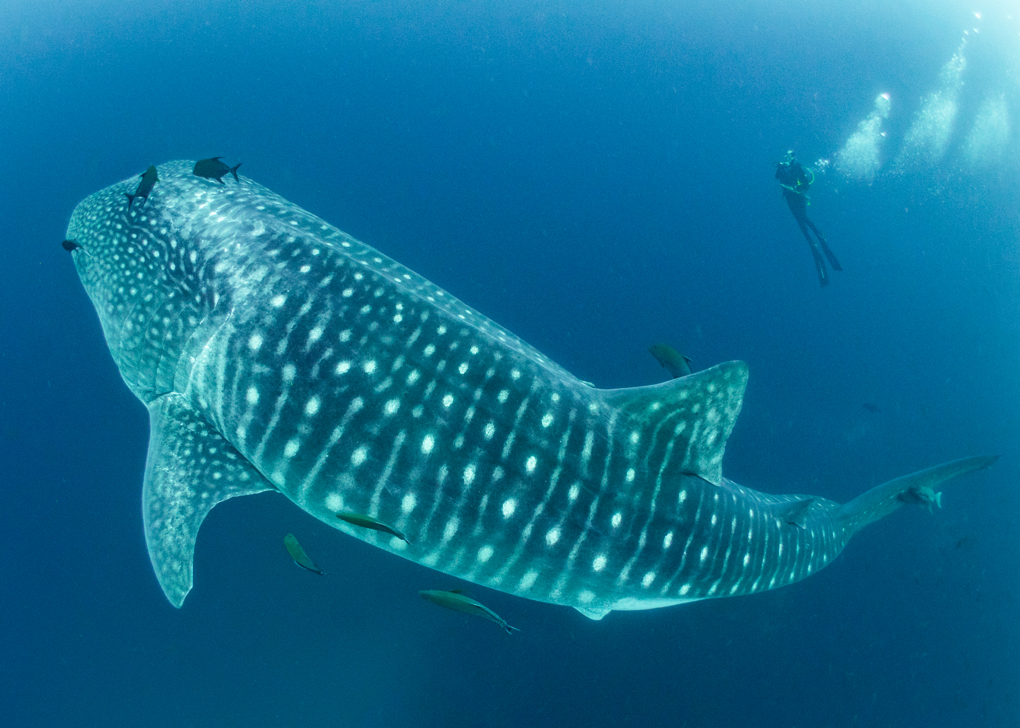 Simon J Pierce Whale Shark and Diver