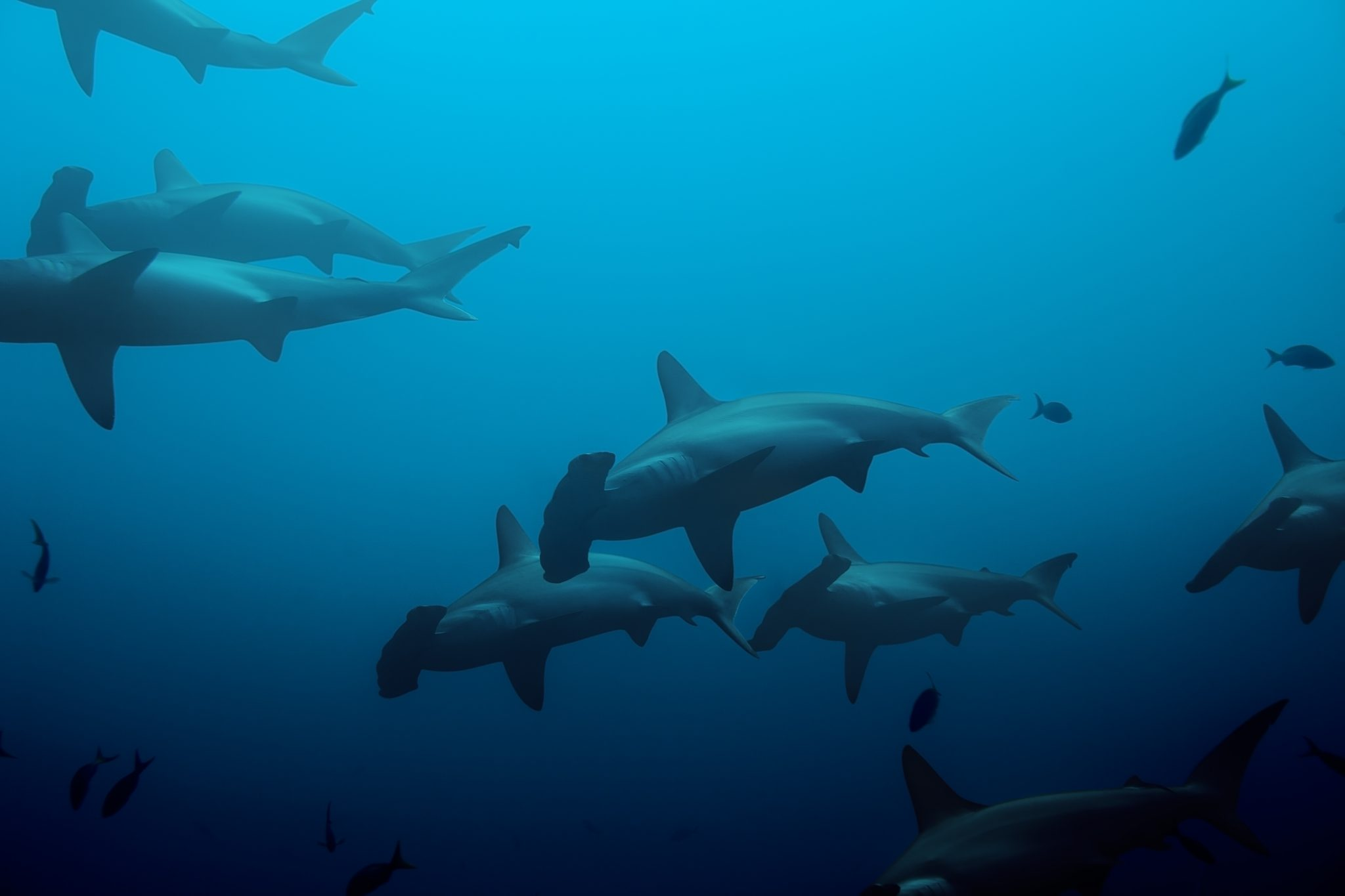 School of hammerhead sharks-blue- ocean