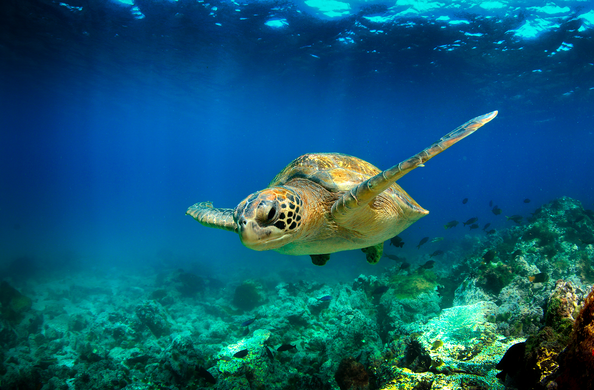 Turtle Swimming - Ocean - Sea Turtle