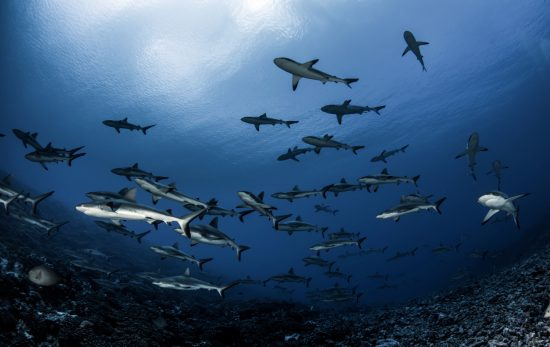 french-polynesia-schooling-sharks