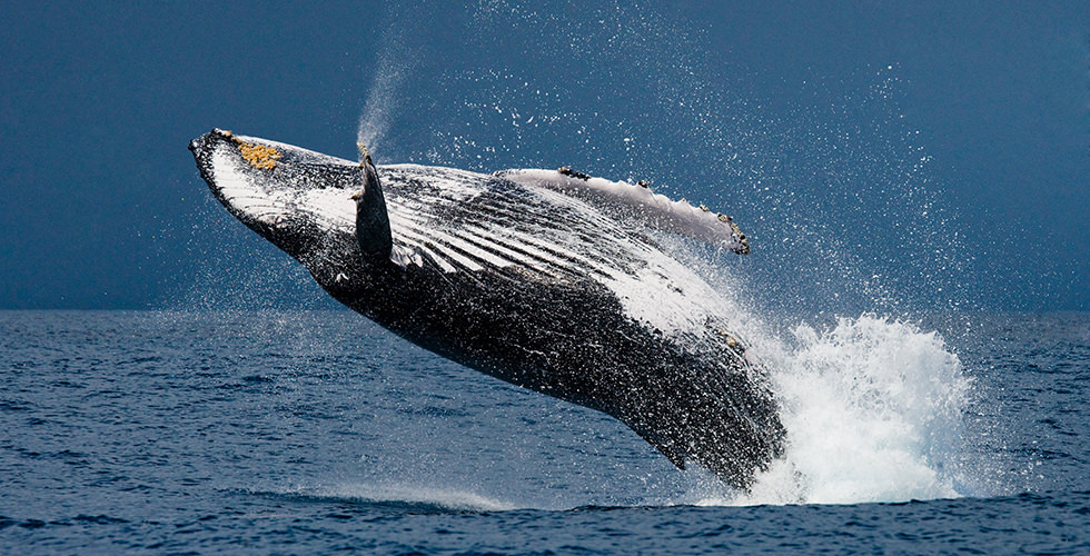 best places to swim with humpback whales faq