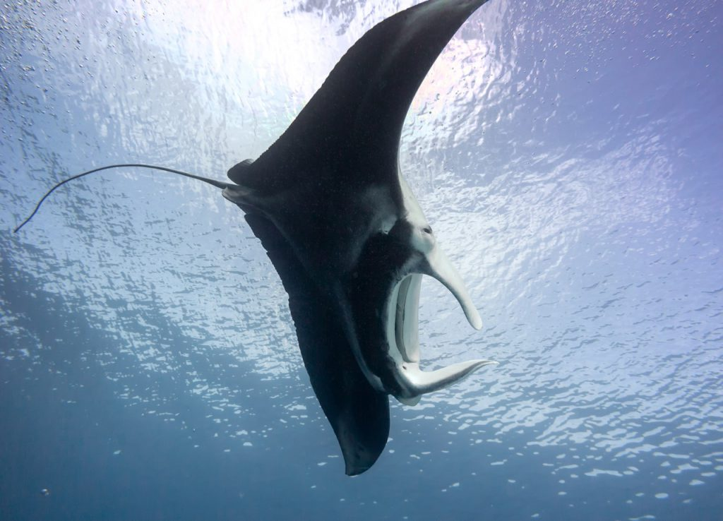 best places to dive with manta rays australia