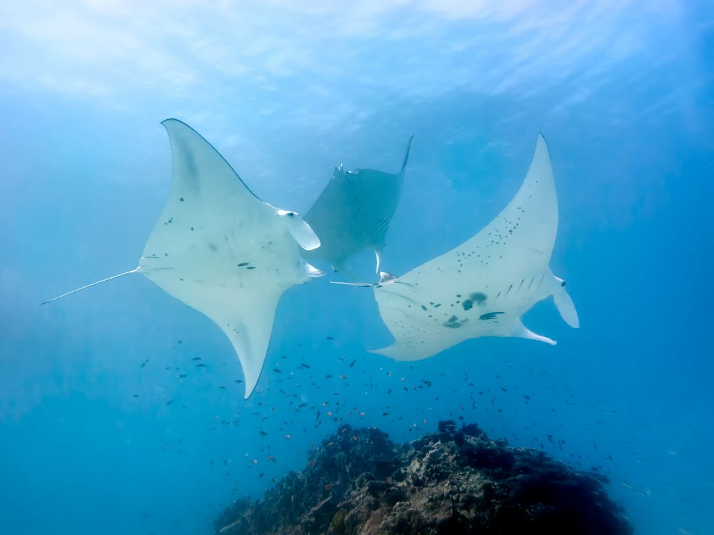 best places to dive with manta rays lady elliot island