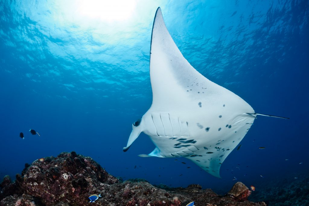 best places to dive with manta rays maldives