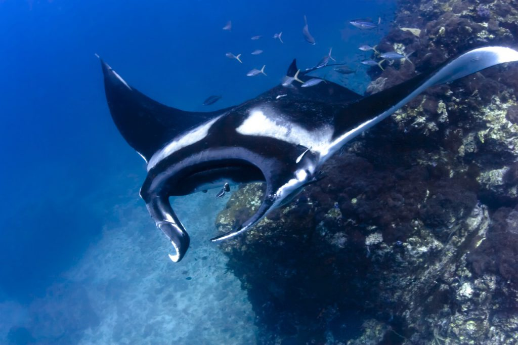 best places to dive with manta rays micronesia