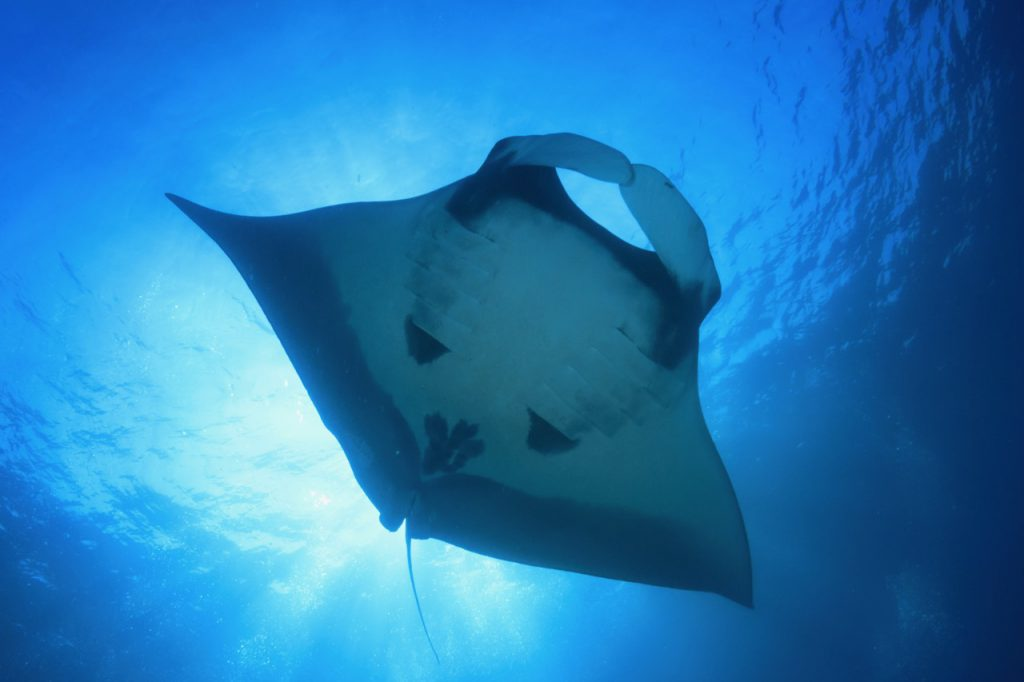 best places to dive with manta rays ecuador