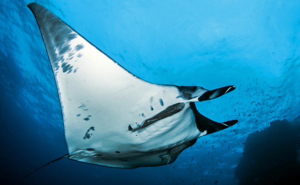 best places to dive with manta rays thailand