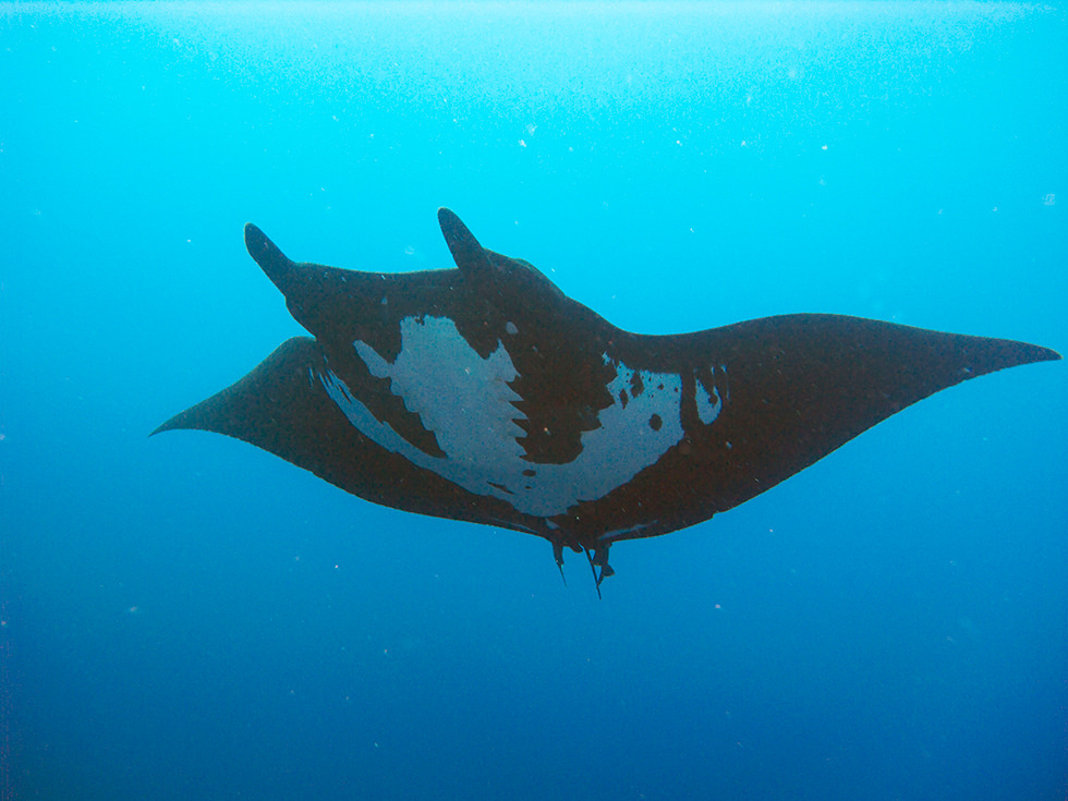 best places to dive with manta rays bali