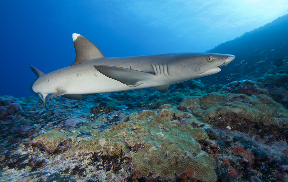 best shark diving destinations french polynesia