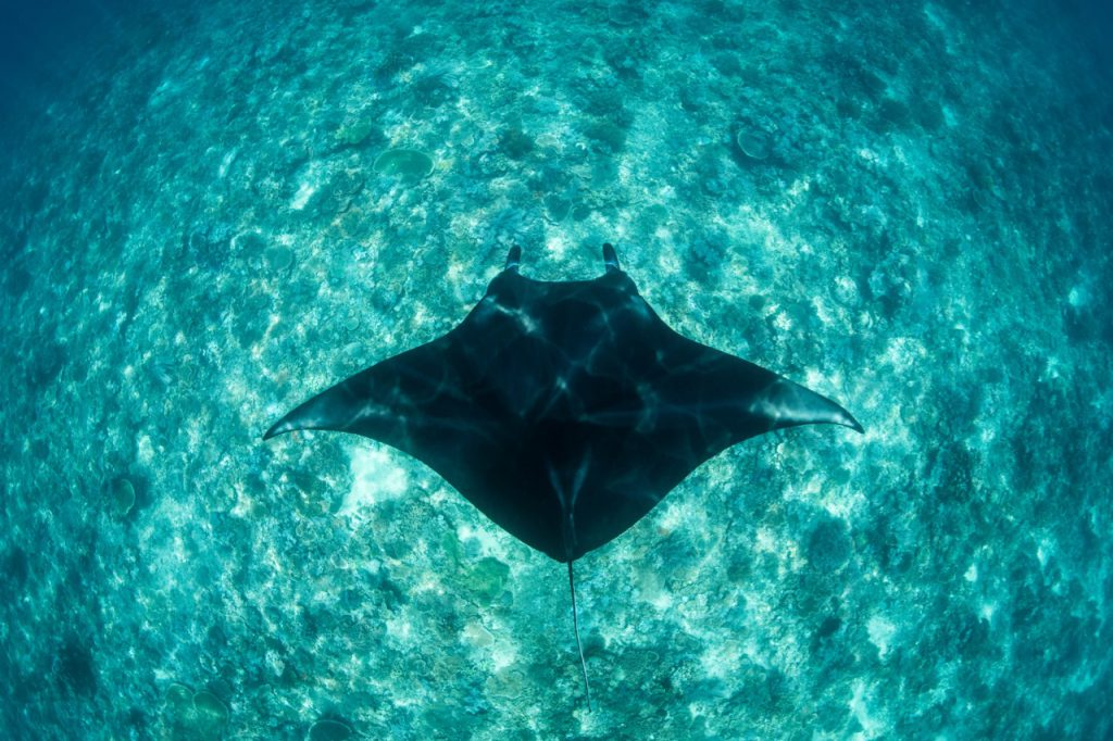 best places to dive with manta rays indonesia