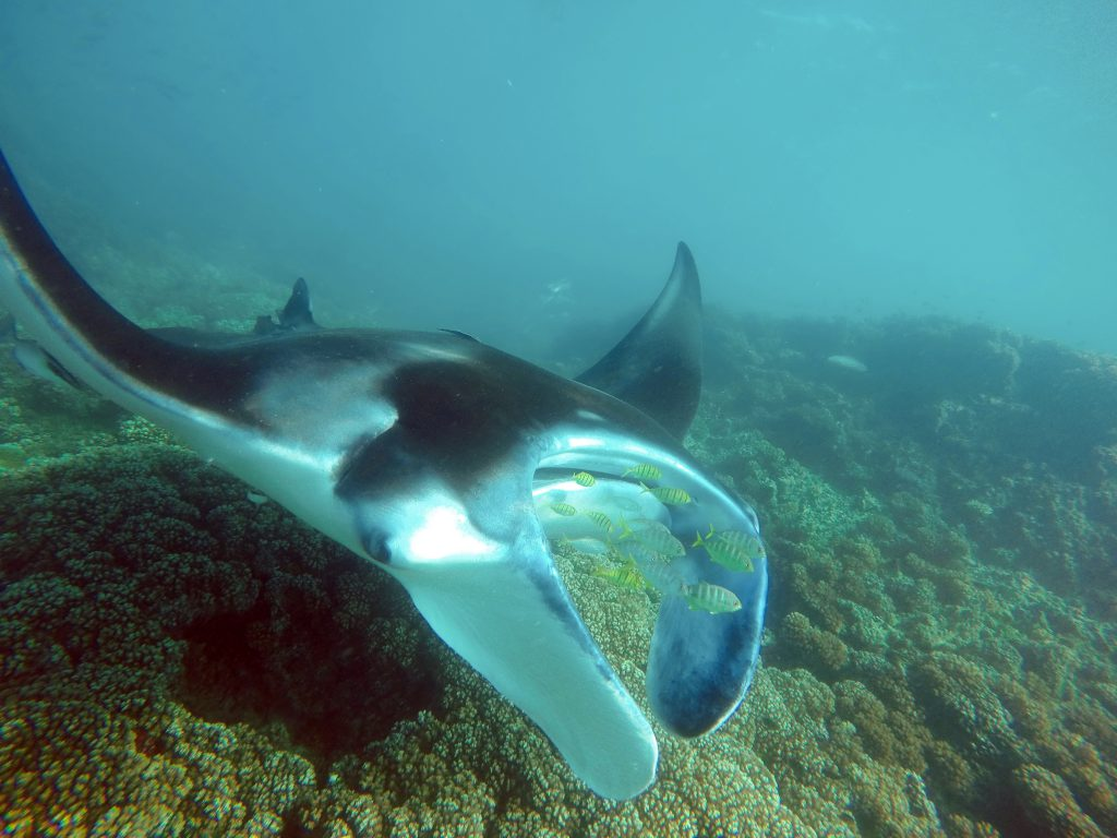 best places to dive with manta rays fiji