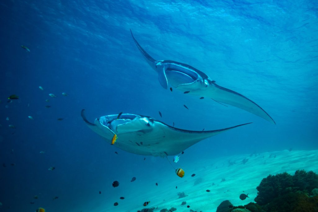 best places to dive with manta rays komodo