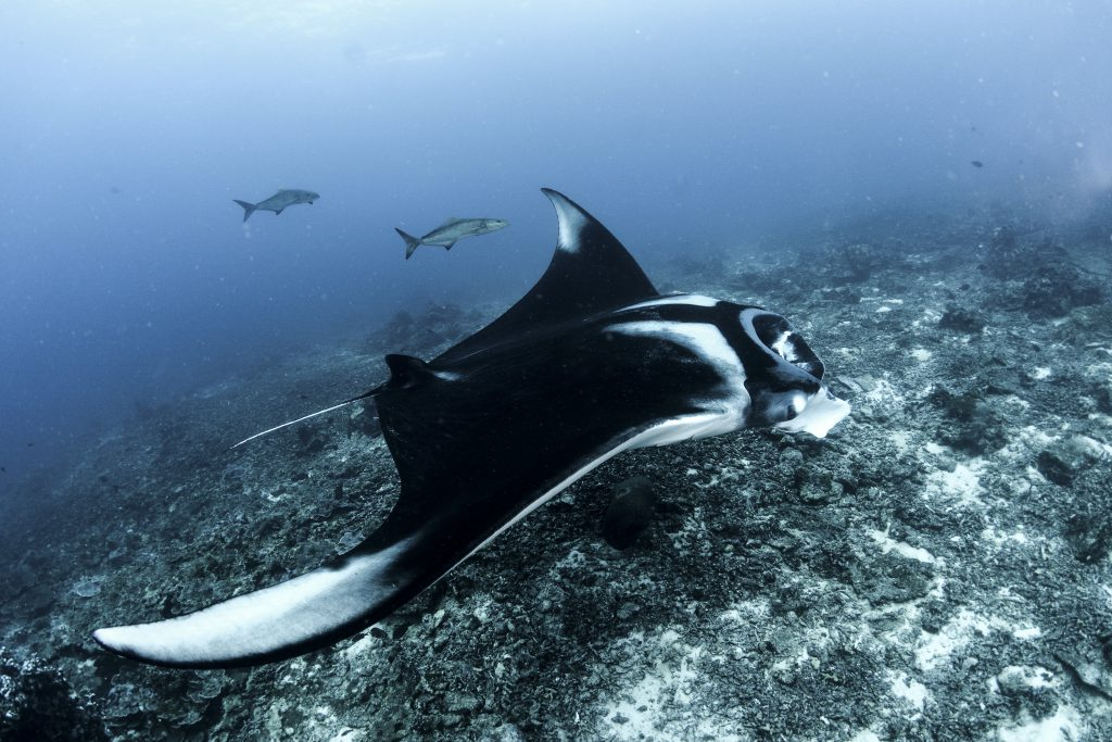 best places to dive with manta rays similan islands