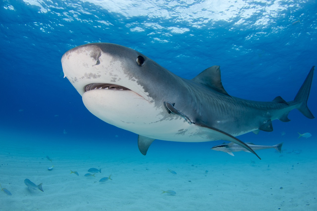 best places to dive with sharks bahamas