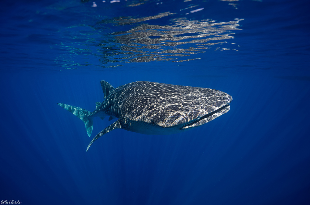 Una-Una - Togean Islands- Indonesia - Whale Shark