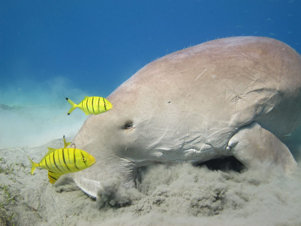 diving with dugong in egypt