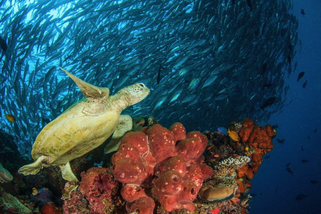 diving with turtles in sipadan malaysia