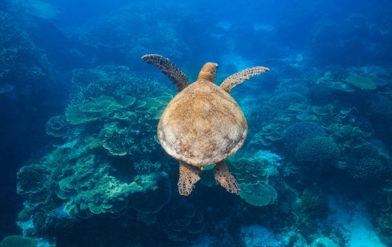 How can YOU help the Great Barrier Reef Turtle