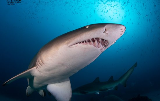 South West Rocks - New South Wales - Grey Nurse Shark - - Matt Testoni - Underwater Photography