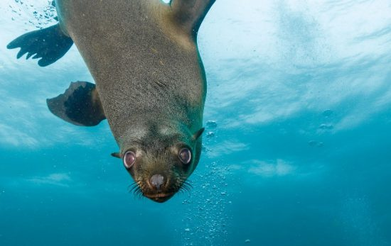 seal - underwater - sea lion